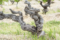 Ancient Grapevine in Australian Vineyard, Barossa Valley. Gnarly grapevine planted in 1860, Henschke Winery, Barossa Valley, Australia stock photography