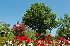Ancient green oak Stock Photo