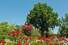 Ancient green oak Royalty Free Stock Photo
