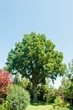 Ancient green oak Stock Photos