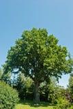 Ancient green oak Royalty Free Stock Image