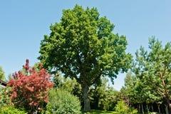 Ancient green oak Royalty Free Stock Photos