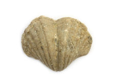 Ancient heart. Heart shaped 400 million year old fossil brachiopod from the Oslo region. Isolated on white Royalty Free Stock Photo