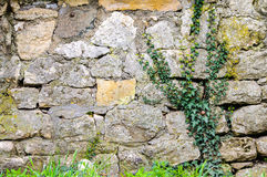 Ancient historical ivy green castle wall Royalty Free Stock Photos