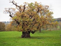 Ancient horse chestnut tree with autumn leaves in a park Stock Photo