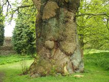 Ancient horse chestnut tree trunk in spring stock photography