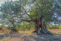Ancient huge strong olive tree Royalty Free Stock Image