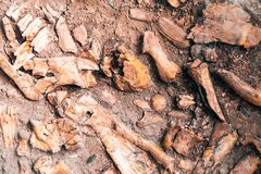 Ancient human bone in ground, dig burial.  royalty free stock image