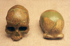 Ancient human skull fossil. The close-up of skull fossil of Upper Cave Man and Peking Man Stock Image