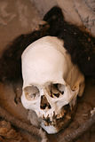 Ancient Human Skull with Hair Stock Photo