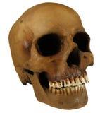 Ancient human skull replica. Resin replica of an ancient human skull Stock Photo