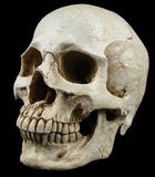 Ancient human skull replica. Resin replica of an ancient human skull Stock Photo