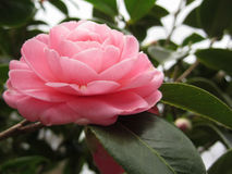Ancient japanese cultivar of pink Camellia japonica flower known as Otome Tsubaki Royalty Free Stock Photo