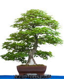 Ancient japanese maple tree as bonsai Royalty Free Stock Photo