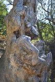 Ancient juniper tree Royalty Free Stock Photos
