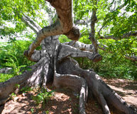 Ancient kapok tree. Very old kapok tree with mystery roots and branches Royalty Free Stock Photos