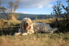 ANCIENT KOMONDOR - HUNGARIAN SHEEPDOG Royalty Free Stock Photo
