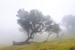 Ancient laurel forest in the fog. Fanal, Madeira, Portugal stock image