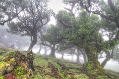 Ancient laurisilva trees in the fog. Madeira, Portugal Stock Image