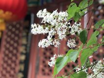 Ancient Lilac in ancient temple in Beijing Stock Photos