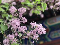 Ancient Lilac in ancient temple in Beijing Royalty Free Stock Photos