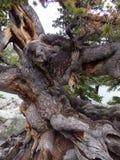 Ancient limber pine near lake Haiyaha Royalty Free Stock Image