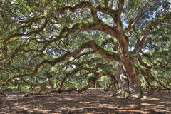 Ancient live oak tree Stock Photos