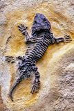 The lizard fossil. The ancient lizard fossil in yellow sandstone Royalty Free Stock Photography