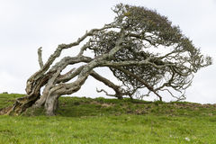 Ancient lone hawthorn tree (Crataegus monogyna),sculpted by the Royalty Free Stock Images