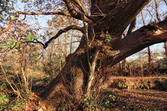 Ancient Magical Oak Tree. In winter Royalty Free Stock Photo