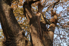 Ancient Magical Oak Tree. In winter Stock Photo