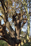 Ancient Magical Oak Tree. In winter Royalty Free Stock Image