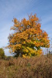 Ancient Maple. Stock Image