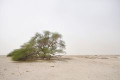 Ancient mesquite tree in desert, tree of life Bahrain. A 400 year-old mesquite tree which lives in the middle of deser Royalty Free Stock Photo