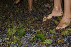 Ancient method to produce wine in which feet crush the grapes af Royalty Free Stock Images