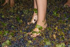 Ancient method to produce wine in which feet crush the grapes af Royalty Free Stock Photography