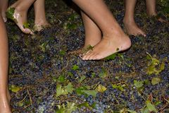 Ancient method to produce wine in which feet crush the grapes af Stock Photography