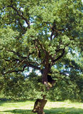 Ancient Oak Stock Photos