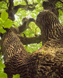 Ancient Oak Royalty Free Stock Image