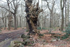 Ancient Oak Forest. Forest Scene of a burnt out old dying twisted gnarled oak tree in winter time Royalty Free Stock Image
