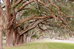 Ancient Oak Limbs Over Grassy Park. Rows of ancient oaks with limbs overhanging a grassy lane royalty free stock photos