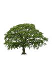 The Ancient Oak in Spring Stock Photo
