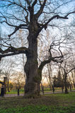 Ancient oak-tree on the background of sunset sky in early spring. Kolomenskoye estate museum, Moscow. Stock Image