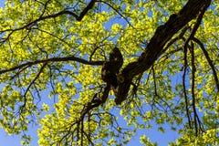 Ancient oak tree Royalty Free Stock Photography