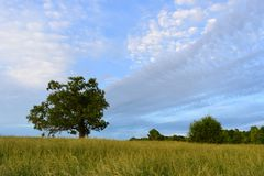 Ancient oak tree in a field of grass with dynamic clouds. An ancient oak tree in a field of blowing grass and dynamic clouds Royalty Free Stock Photography