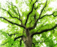 Ancient Oak Tree Stock Images