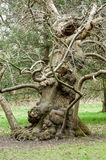 Ancient oak tree Stock Photography