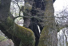 An ancient oak tree in Poland, in Rogalin Royalty Free Stock Photography