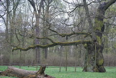 An ancient oak tree in Poland, in Rogalin Stock Photos