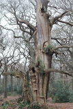 Ancient oak tree. A winter view of an ancient oak tree Stock Photos